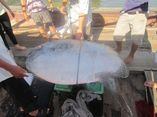 Cá Mặt trăng nặng hơn 100kg mắc lưới ngư dân - 6