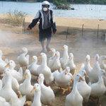 Tin tức trong ngày - Tái bùng phát cúm gia cầm tại miền Trung