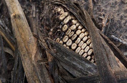 2013: Khủng hoảng lương thực toàn cầu? - 1