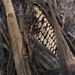 Thị trường - Tiêu dùng - 2013: Khủng hoảng lương thực toàn cầu?