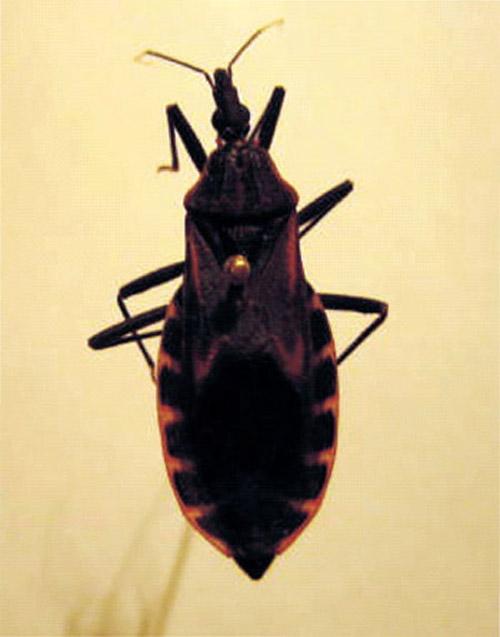 Lại phát hiện bọ xít hút máu người ở HN - 2
