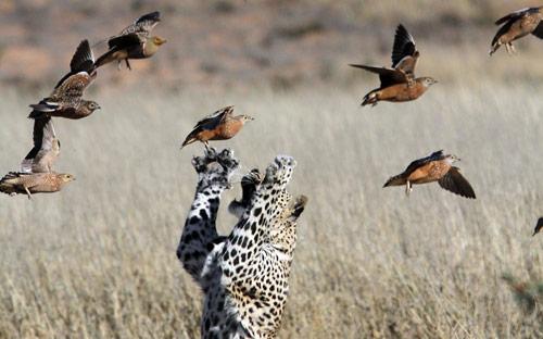 Ảnh đẹp: Đại bàng không chiến với quạ đen - 2