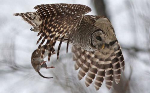 Ảnh đẹp: Đại bàng không chiến với quạ đen - 3