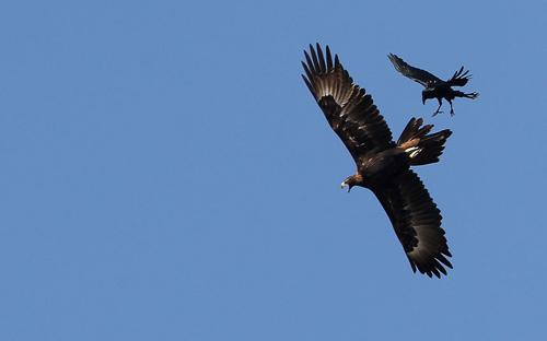 Ảnh đẹp: Đại bàng không chiến với quạ đen - 7
