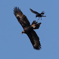 Ảnh đẹp: Đại bàng không chiến với quạ đen