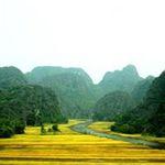 Du lịch - Tam Cốc – Bích Động đẹp rực rỡ mùa lúa chín