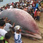 Tin tức trong ngày - Bình Thuận: Cá voi 7 tấn lụy biển Tuy Phong