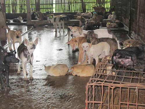 Món cầy tơ và nghề buôn chó liên tỉnh - 1