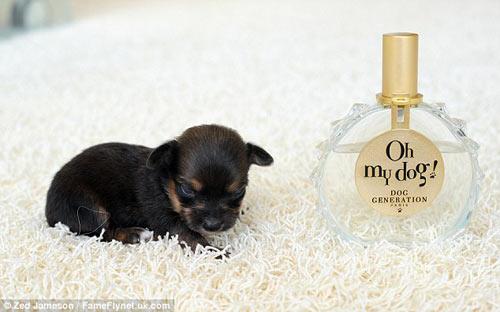 Ngắm chú chó nhỏ nhất nước Anh - 3