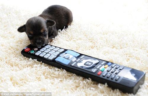 Ngắm chú chó nhỏ nhất nước Anh - 4