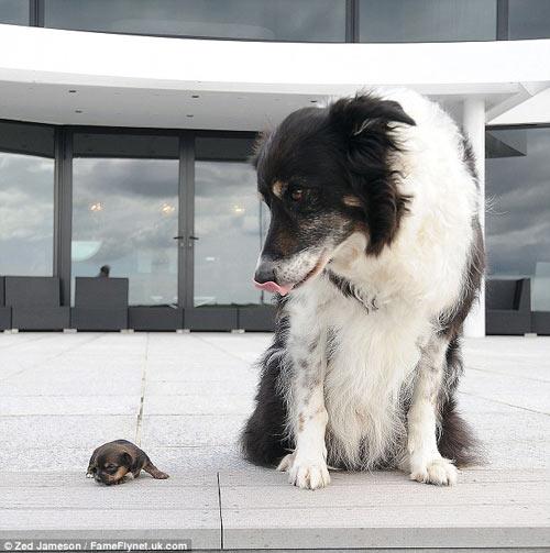 Ngắm chú chó nhỏ nhất nước Anh - 5