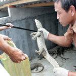 Tin tức trong ngày - Thu tiền tỉ từ nghề nuôi rắn, kỳ đà, rùa