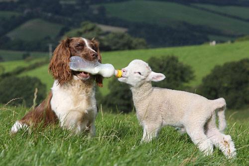 Chó làm bảo mẫu cho cừu - 3