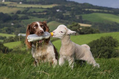 Chó làm bảo mẫu cho cừu - 4