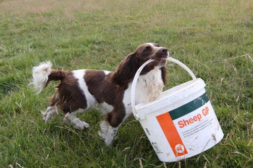 Chó làm bảo mẫu cho cừu - 1