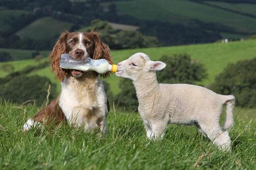 Chó làm bảo mẫu cho cừu - 5