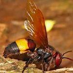 """Sức khỏe đời sống - Độc chiêu""""dùng ong đốt để chữa bệnh?"""