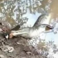 Cá sấu bị cá chình phóng điện giật chết