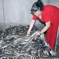 Dân đổ xô nuôi rắn, mong thành tỷ phú