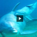 Tin tức trong ngày - Video: Ấn tượng với cảnh cá heo sinh con