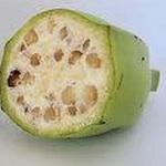 Sức khỏe đời sống - Thuốc quý từ cây chuối hột