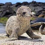 """Tin tức trong ngày - Ảnh đẹp: Sư tử biển con """"bọc"""" cát"""