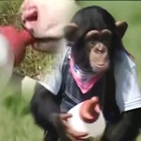 Cặp đôi hoàn cảnh: Khỉ cho bò bú nước