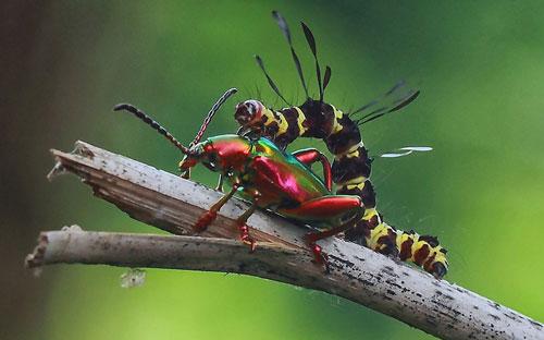 Ảnh đẹp: Bọ cánh cứng sặc sỡ bên sâu bướm - 10