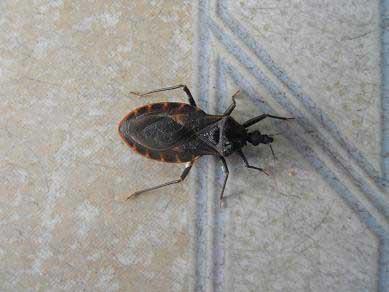 Lại phát hiện bọ xít hút máu người ở Quy Nhơn - 1