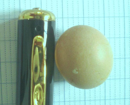 Cặp gà nòi đẻ trứng chỉ to bằng... đầu bút bi - 1