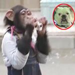 Video Clip Cười - Cặp đôi hoàn cảnh: Khỉ làm nhiếp ảnh