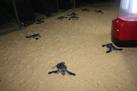 Tận mắt ngắm 59 rùa biển chào đời ở Bình Định - 3