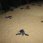 Tin tức trong ngày - Tận mắt ngắm 59 rùa biển chào đời ở Bình Định