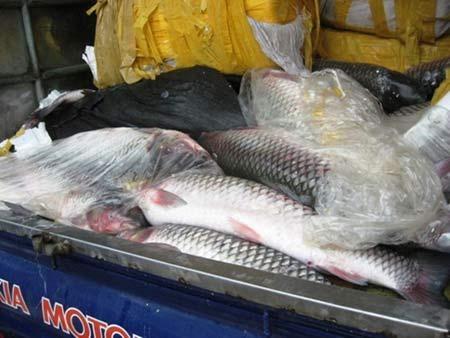 700kg cá trắm lậu gắn chữ TQ trên bao bì - 1