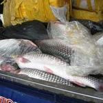 Thị trường - Tiêu dùng - 700kg cá trắm lậu gắn chữ TQ trên bao bì