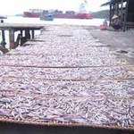 Thị trường - Tiêu dùng - Quy Nhơn: Ngư dân trúng đậm cá cơm than