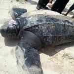 Tin tức trong ngày - Khánh Hòa: Thả rùa da quý hiếm về biển