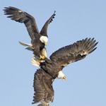 Tin tức trong ngày - Ảnh đẹp: Đại bàng đánh nhau trên không