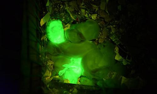Nhân bản thỏ phát sáng như bóng đèn led - 1
