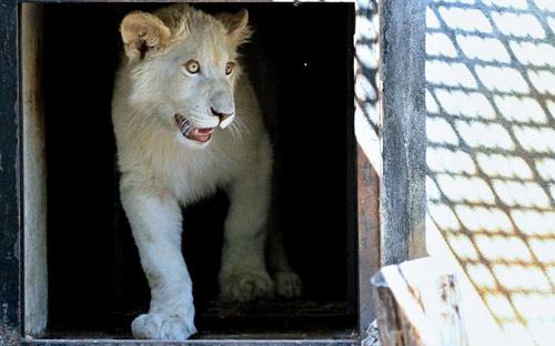 Ảnh đẹp: Sư tử đánh nhau ác liệt trên đồng cỏ - 12