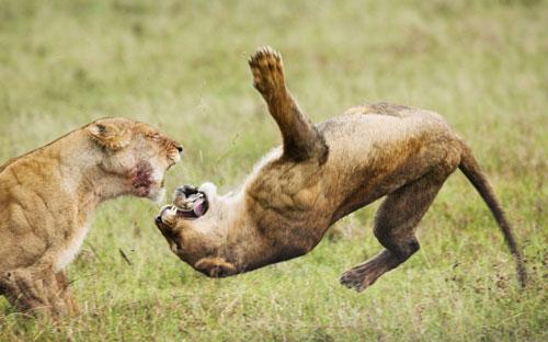 Ảnh đẹp: Sư tử đánh nhau ác liệt trên đồng cỏ - 2