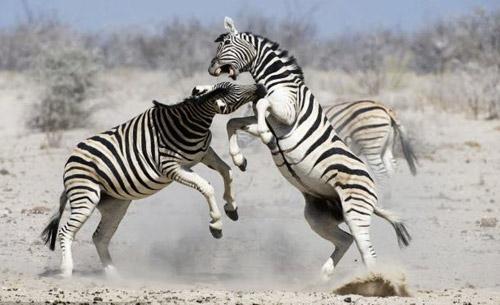 Ảnh đẹp: Sư tử đánh nhau ác liệt trên đồng cỏ - 6