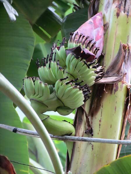 Khánh Hòa: Buồng chuối trổ ngược giữa thân cây - 1