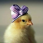 Phi thường - kỳ quặc - Những chú gà con siêu đáng yêu