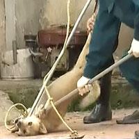Tình trạng chó hoang cắn người ở Sóc Sơn