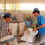 Thị trường - Tiêu dùng - Hết tạm trữ, lúa gạo lại giảm giá mạnh