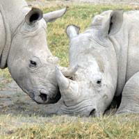 Sừng tê giác chứa chất bảo quản gây hại