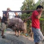 Thị trường - Tiêu dùng - Gom lợn mỡ bán sang Trung Quốc