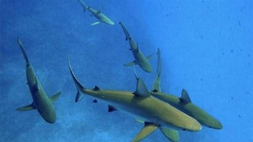 Đổ chục triệu săn cá mập cảnh ăn thịt - 1