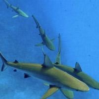 Đổ chục triệu săn cá mập cảnh ăn thịt